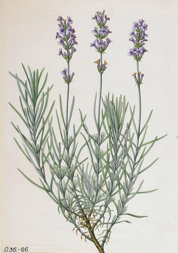 Old English Lavender (Lavandula angustifolia)