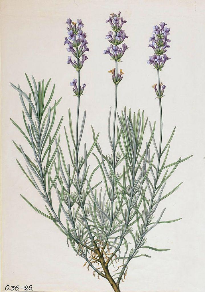Old English Lavender (Lavandula angustifolia)